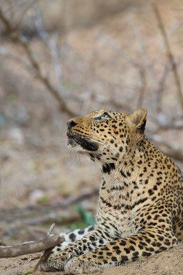 Afrikanischer Leopard, Panthera pardus pardus, 20141027-MSF4932