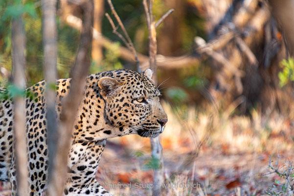 Afrikanischer Leopard, Panthera pardus pardus, 20120928-MSF7412