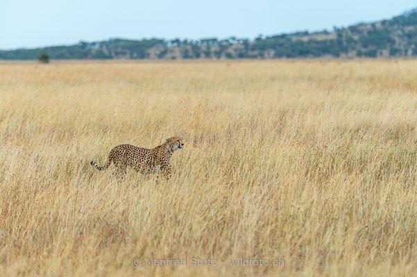 Gepard, Acinonyx jubatus, 20140529-MSF1964