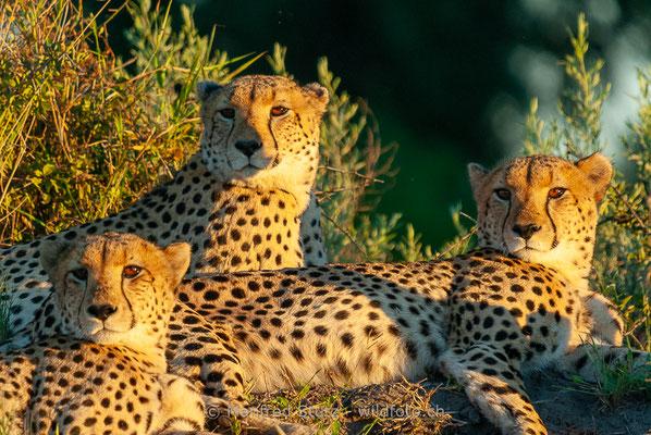 Gepard, Acinonyx jubatus, 20120401-MSF8712