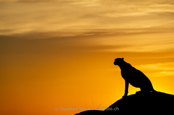 Gepard, Acinonyx jubatus, 20161007-D4D7499