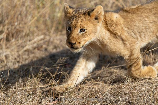 Afrikanischer Löwe, Panthera leo, Jungtiere, 20170704-_D4D1452