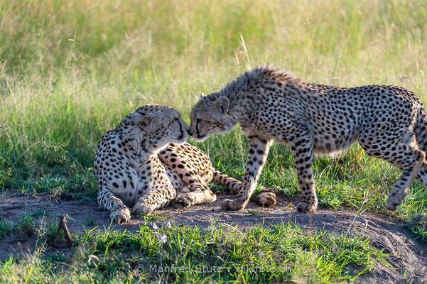Gepard, Acinonyx jubatus, 20160206-D041268