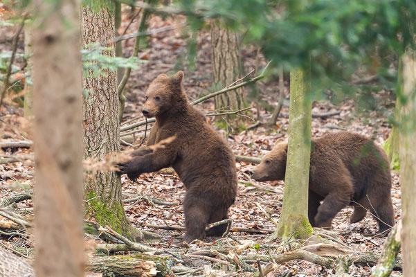 Jungbären am Spielen im Wildnispark Zürich