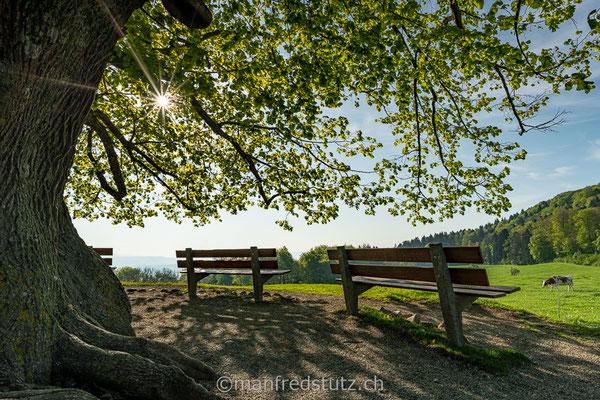 Linde von Linn auf dem Bözberg, Kanton Aargau