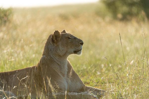 Afrikanischer Löwe, Panthera leo, Weiblich, _D042405