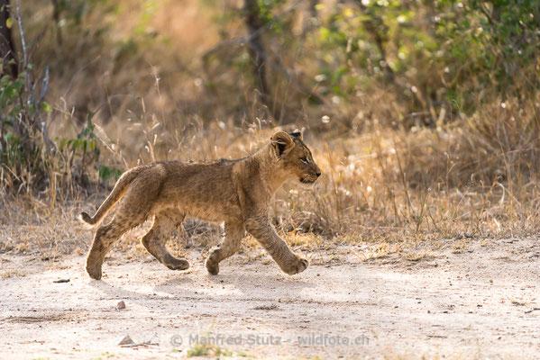 Afrikanischer Löwe, Panthera leo, Jungtier, 20170704-DSC_5089