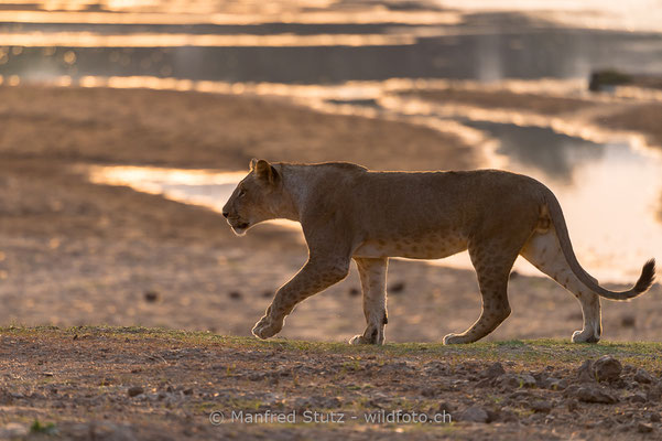 Afrikanischer Löwe, Panthera leo, Weiblich, _MSF4116