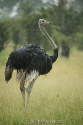 Common Ostrich, Struthio camelus, Afrikanischer Strauss