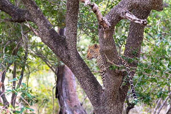 Afrikanischer Leopard, Panthera pardus pardus, 20170702-D4D9475
