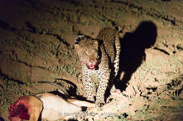 Afrikanischer Leopard, Panthera pardus pardus, 20141026-MSF4546