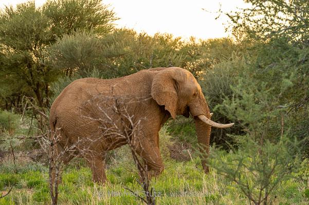 Afrikanischer Elefant, Loxodonta africana, 20180226-D4D5862