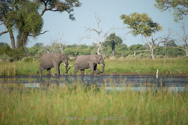 Afrikanischer Elefant, Loxodonta africana, 20150314-MSF5370