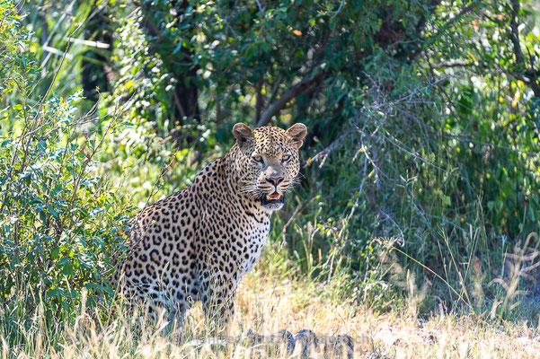 Afrikanischer Leopard, Panthera pardus pardus, 20130224-MSF2075