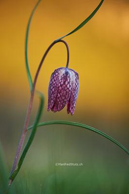 Schachblume (Fritillaria meleagris) Kanton Neuenburg
