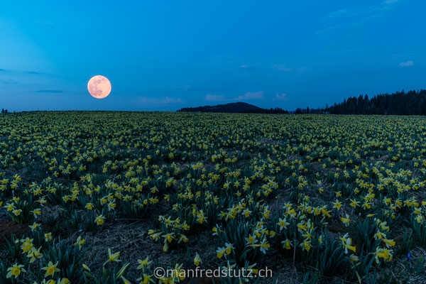Mondaufgang bei den Gelben Narzissen, Narcissus pseudonarcissus, Vue des Alpes, Neuenburg