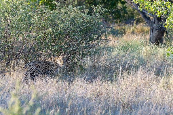 Afrikanischer Leopard, Panthera pardus pardus, 20130219-MSF7708