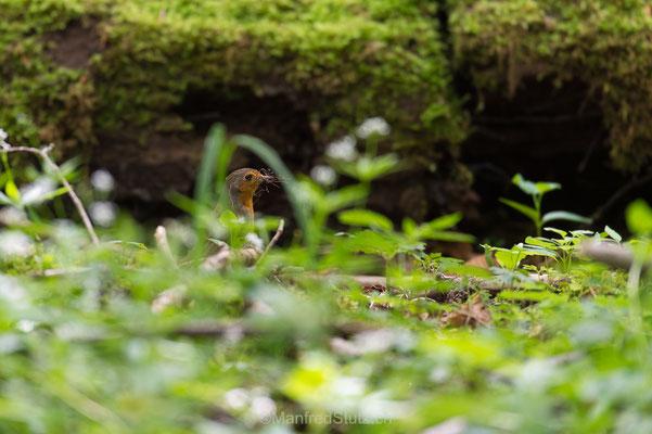 Rotkehlchen, Erithacus rubecula