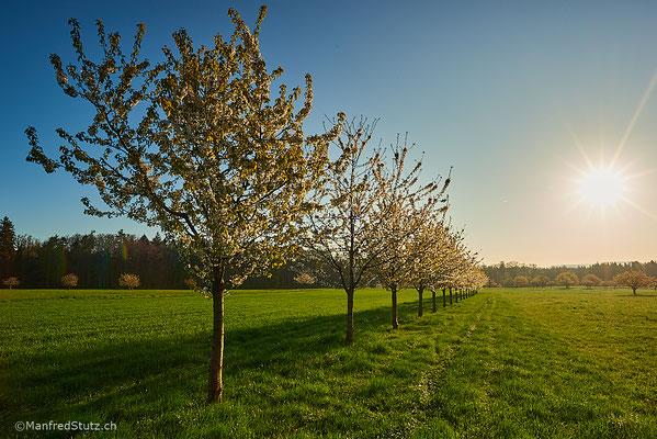 Kirschbäume im Kanton Baselland