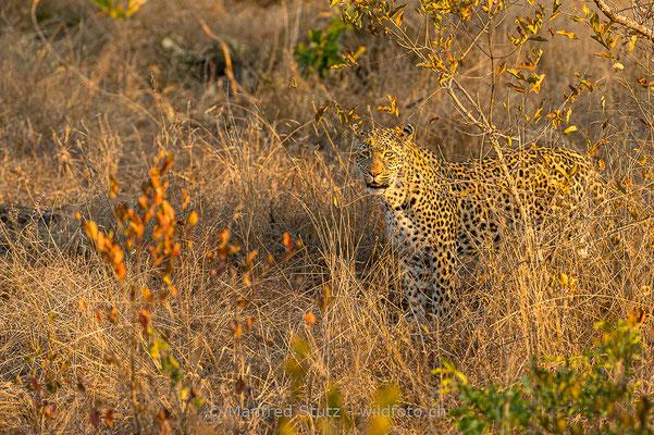 Afrikanischer Leopard, Panthera pardus pardus, 20170701-D4D9247