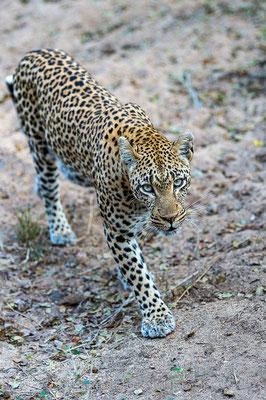 Afrikanischer Leopard, Panthera pardus pardus, 20170702-D4D9622