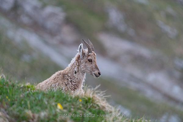 Alpensteinbock, Capra ibex, Steingeiss, Weiblich, Jungtier 20190601-9244