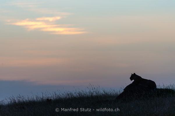 Afrikanischer Löwe, Panthera leo, Weiblich, _D042935
