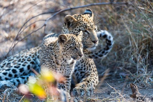 Afrikanischer Leopard, Panthera pardus pardus, 20170703-DSC-4042