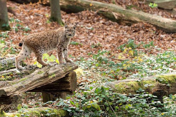 Eurasischer Luchs im Wildnispark Zürich