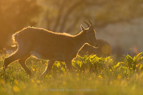 Alpensteinbock, Capra ibex, Steingeiss, Weiblich, 20160609-D4D4776