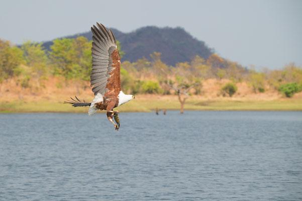 African Fisheagle, Haliaeetus vocifer, Schreiseeadler