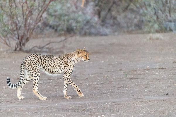 Gepard, Acinonyx jubatus, 20120930-MSF9353