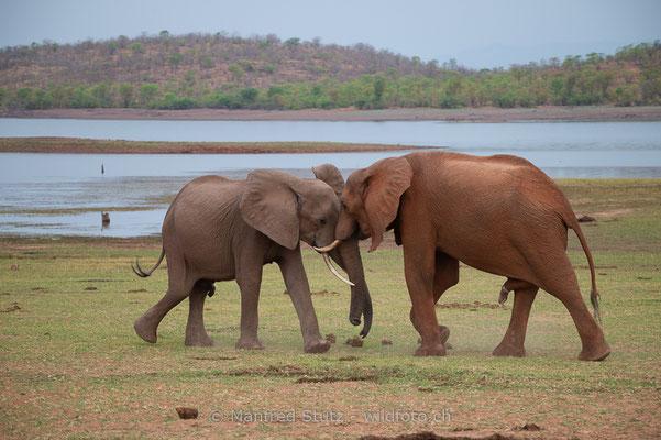 Afrikanischer Elefant, Loxodonta africana, 20131031-MSF1222