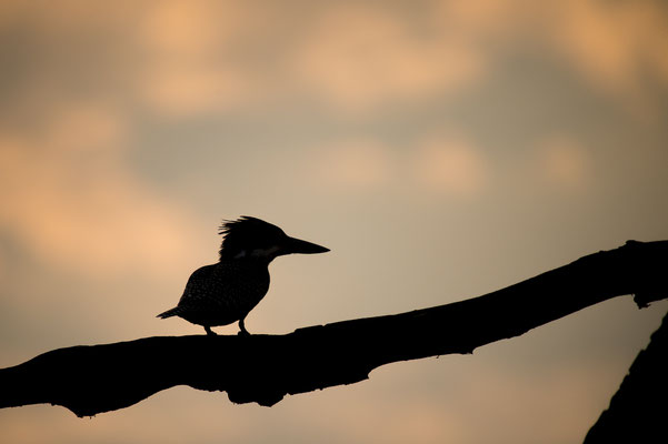 Giant Kingfisher, Megaceryle maxima, Riesenfischer