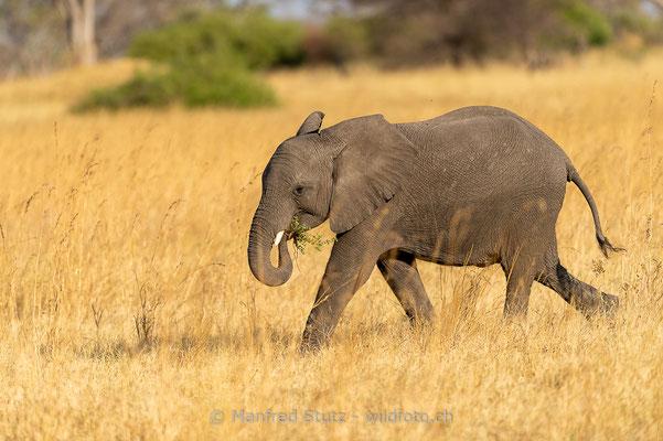 Afrikanischer Elefant, Loxodonta africana, 20181001-D4D9271-2