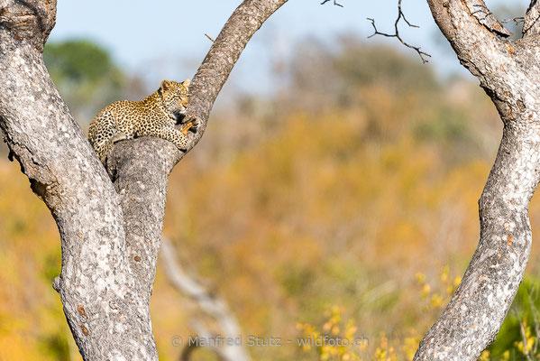 Afrikanischer Leopard, Panthera pardus pardus, 20170705-DSC-5440