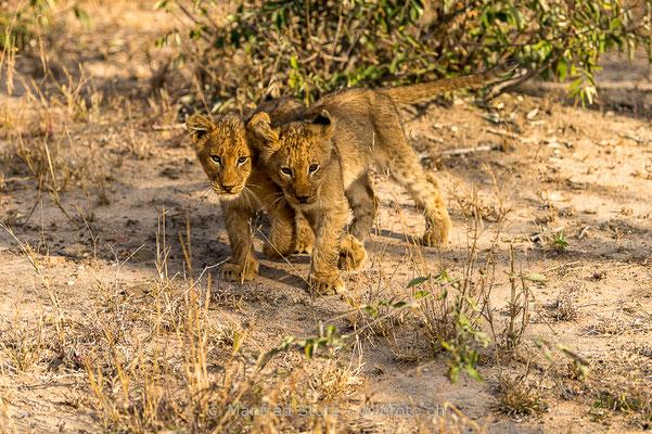 Afrikanischer Löwe, Panthera leo, Jungtiere, 20170704-_D4D0462