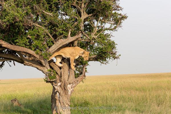 Afrikanischer Löwe, Panthera leo, Weiblich, 20160209-_8100608
