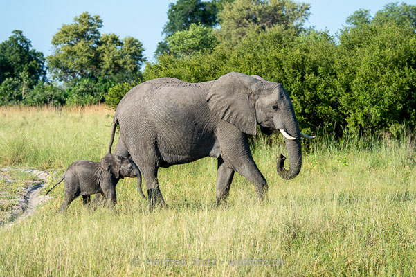 Afrikanischer Elefant, Loxodonta africana, 20150307-MSF2470