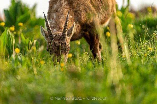Alpensteinbock, Capra ibex, Steingeiss, Weiblich, 20180526-D4D0017