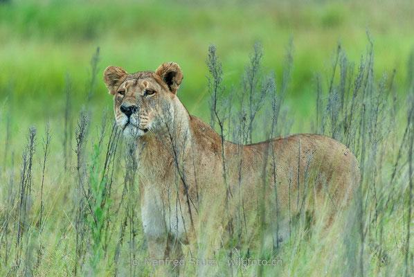 Afrikanischer Löwe, Panthera leo, Weiblich, _MSF6306