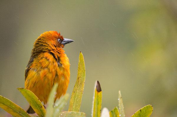 Cape Weaver, Ploceus capensis, Kapweber