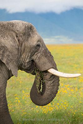 Afrikanischer Elefant, Loxodonta africana, 20140526-MSF0423