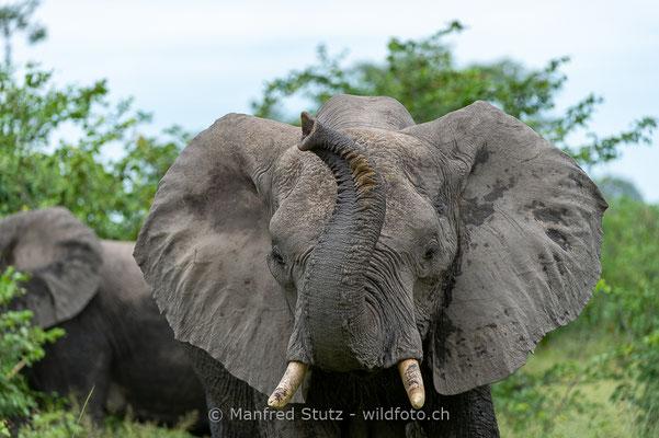 Afrikanischer Elefant, Loxodonta africana, 20130221-MSF9659
