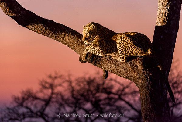 Afrikanischer Leopard, Panthera pardus pardus, 20170701-DSC-3475
