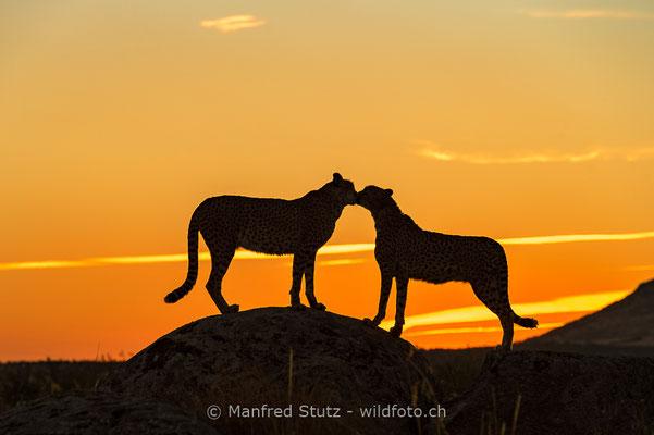 Gepard, Acinonyx jubatus, 20161006-E.2016.003