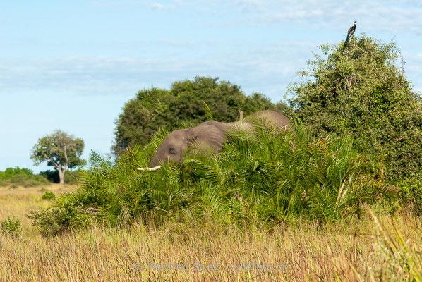 Afrikanischer Elefant, Loxodonta africana, 20120329-MSF7272
