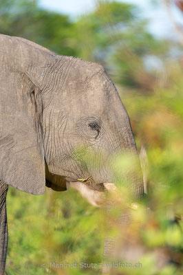 Afrikanischer Elefant, Loxodonta africana, 20130227-MSF3661