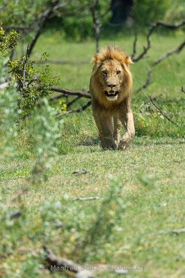 Afrikanischer Löwe, Panthera leo, Männlich, 20150307-BW.2015.022