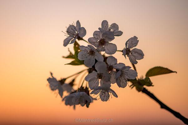 Kirschblüte (Prunus avium)